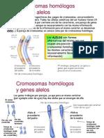 geneticaalelos-091206073506-phpapp02