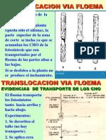 Translocacion Floema Internet