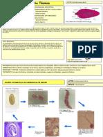 Fasciola hepatica3