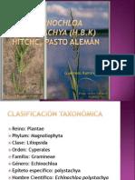 presentacion Echinochloa polystachya