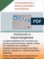 Espermatogénesis y hormonas sexuales masculinas
