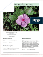 Vicaria_Catharanthus roseus