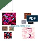 Trypanosoma bruci