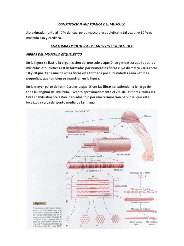 Constitucion Anatomica Del Musculo