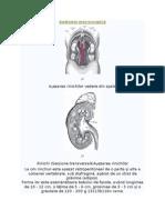 Anatomie macroscopică rinichii