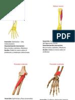 musculos antebrazo