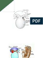 poze.embrio