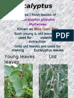 1.Eucalyptus