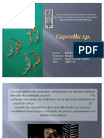 Caprella sp