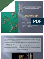 Caprella sp