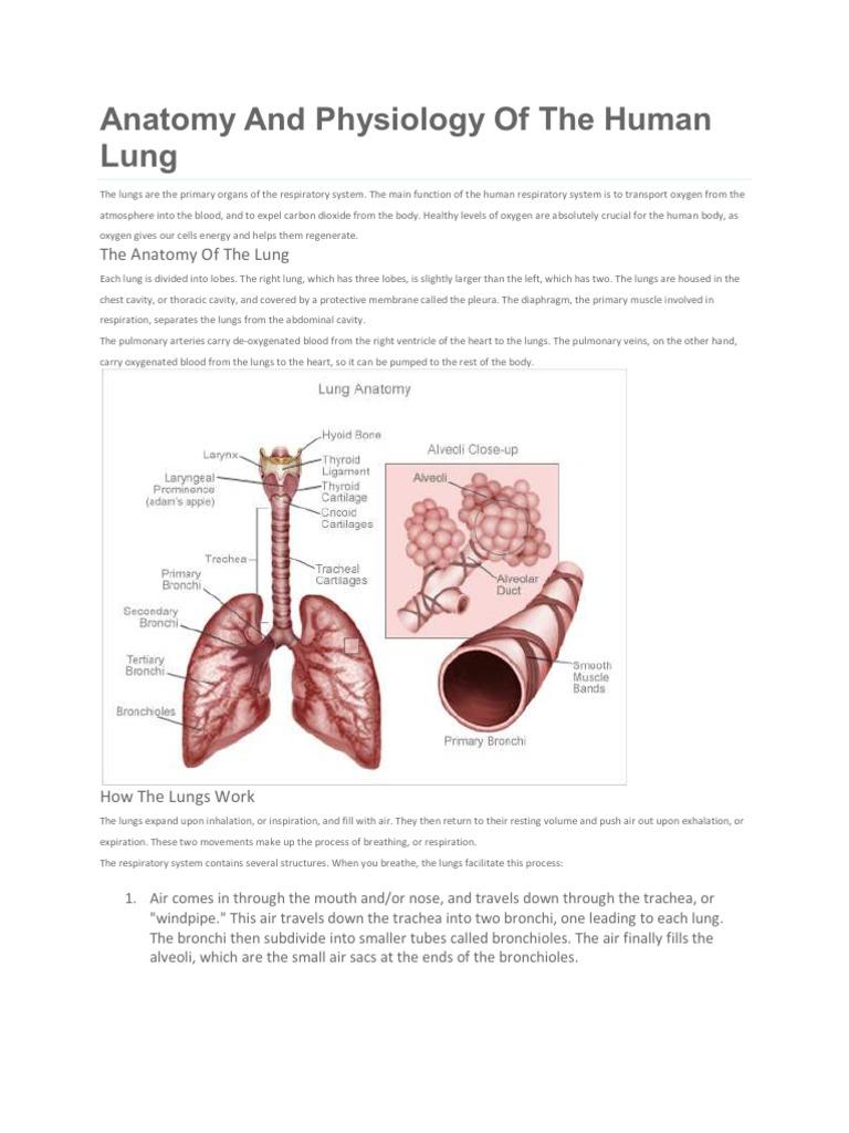 Anatomy   Lung   Respiratory System