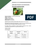 Insectos de Arroz Santos