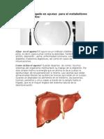 Función del hígado en ayunas  para el metabolismo de carbohidratos
