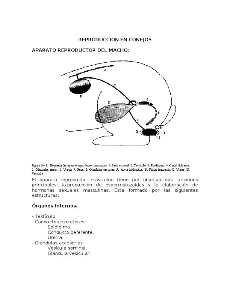 Excepcional Conejillo De Indias Anatomía Reproductora Bandera ...