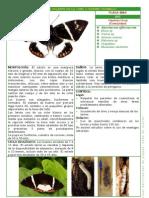 Castnia licus