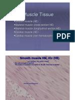 Muscle Tissue histology