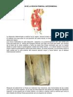 Diseccion de La Region Femoral Ante Rome Dial - Paola Urrea