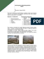 Disección Pared Abdominal Posterior-Laura Marien Bacca