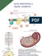 Cadena Electronic A y Fosforilacion Oxidativa