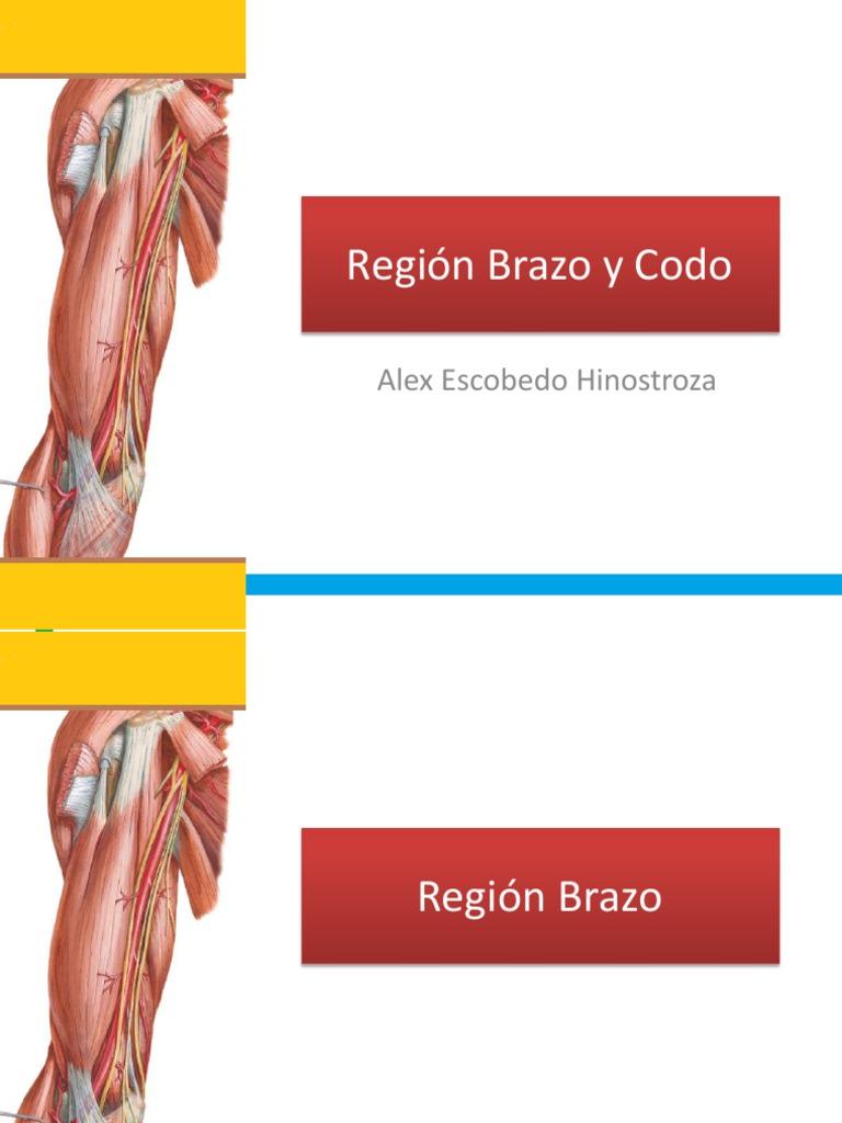 Lujoso Inferior Anatomía Brazo Viñeta - Anatomía de Las Imágenesdel ...