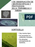 Paramecio, vorticella y ameba