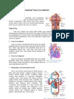 Anatomi Vena Cava Inferior
