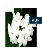 Sampaguita Plant is Native to Southern Asian Countries of India