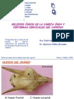 Relieves Oseos Del Craneo y Vertebras Cervicales Del Caprino