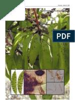 pseudocercospora mangaeferae