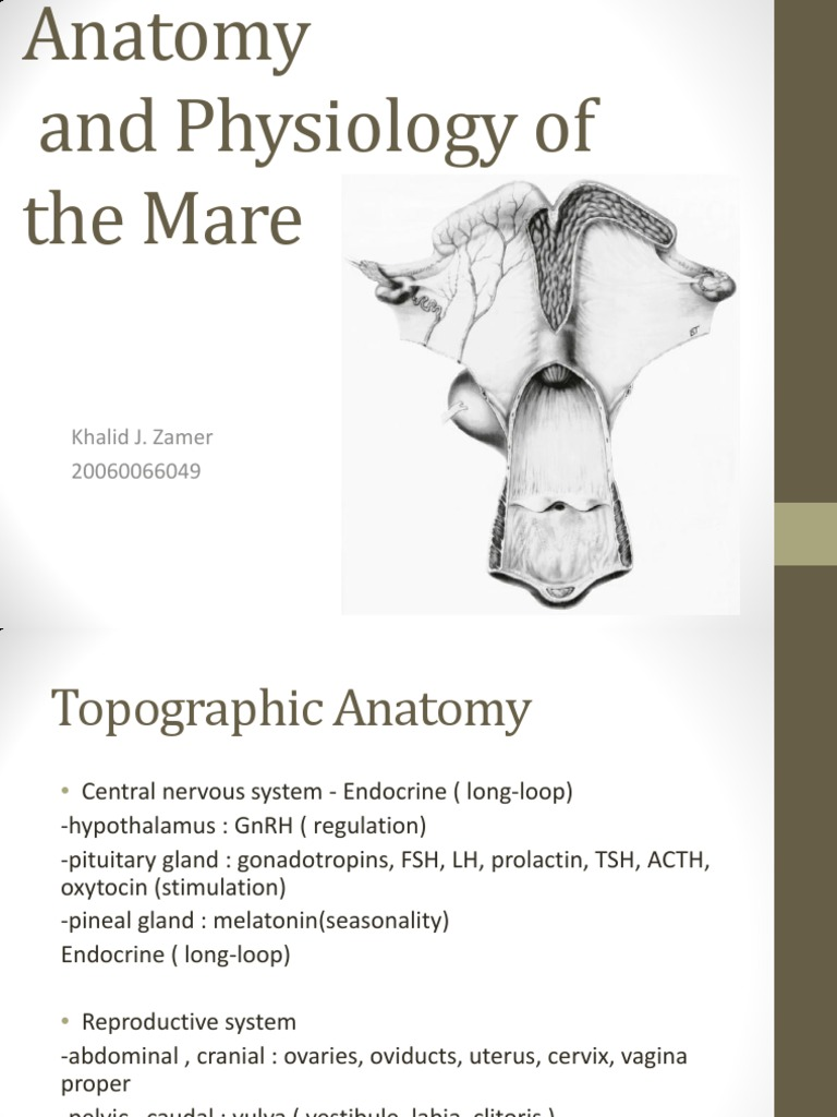 Anatomy and Physiology of the Mare | Ovary | Uterus