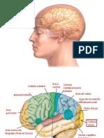 Cerebros y Sus Funciones