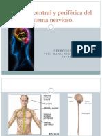División central y periférica del sistema nervioso2
