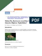 Bactrocera cucurbitae