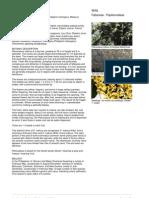 Pterocarpus_indicu3s