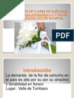 PRODUCCIÓN de flores de cartucho