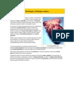 Morfología y fisiología cardíaca