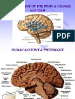 Brain II and Cranial Nerves.