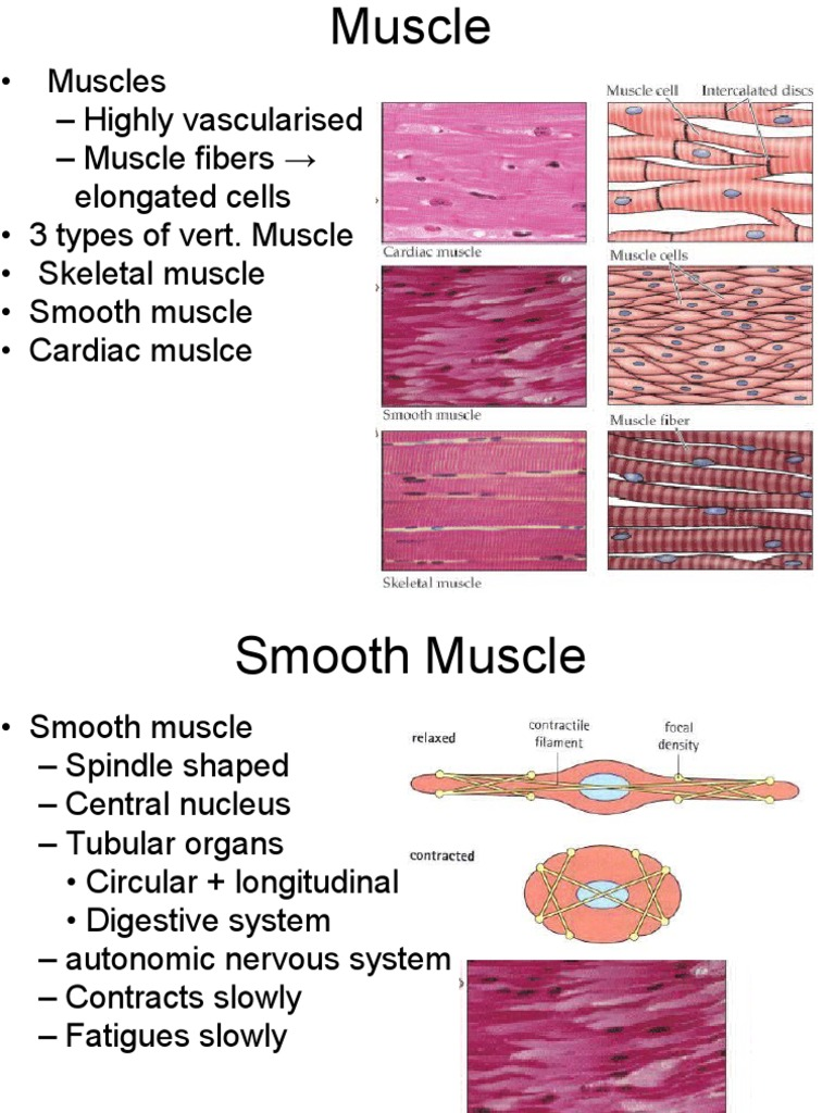 21 Muscles Contraction Skeletal Muscle Muscle