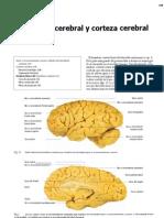 Hemisferio Cerebral y Corteza Cerebral