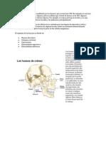 El armazón del cuerpo está constituido por los huesos