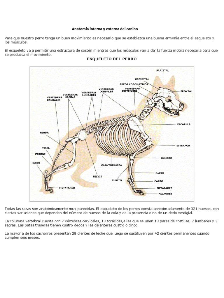 Anatomía interna y externa del canino