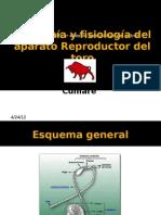 Anatomía y fisiología del aparato Reproductor del toro