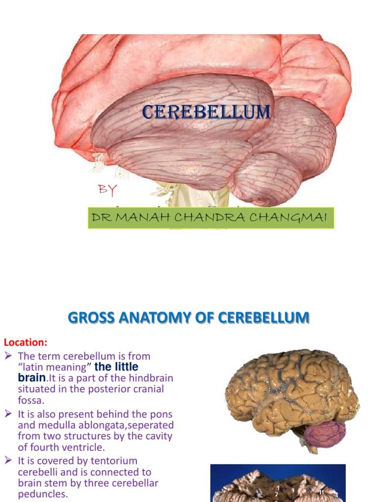 anatomyofcerebellum-100611084355-phpapp01 | Cerebellum | Brainstem