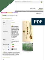 Www Pfaf Org User Plant Aspx LatinName Equisetum Hyemale