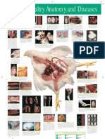 Anatomia de Pollo de Engorde