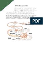 Células Gliales y neuroglias