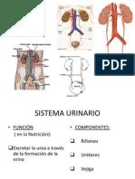 Sistema_Urinario_-_Prof._Besso_