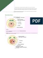 Diagram of Mitosis