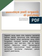 Budidaya Padi Organik Di Polybag