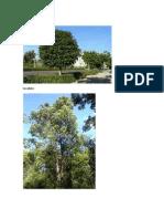 Ficus Arboles